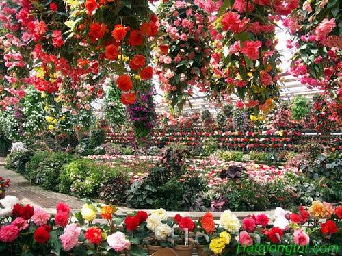 Vườn hoa thu hải đường