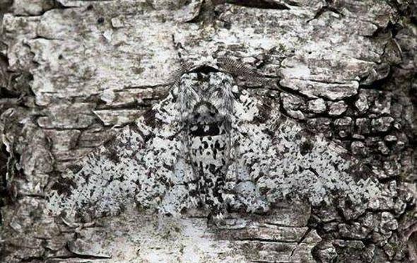 Mariposa camuflada en una roca