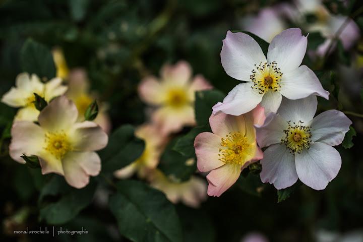 The Alexandra Rose Rosa-the-alexandra-rose-130708-36rm