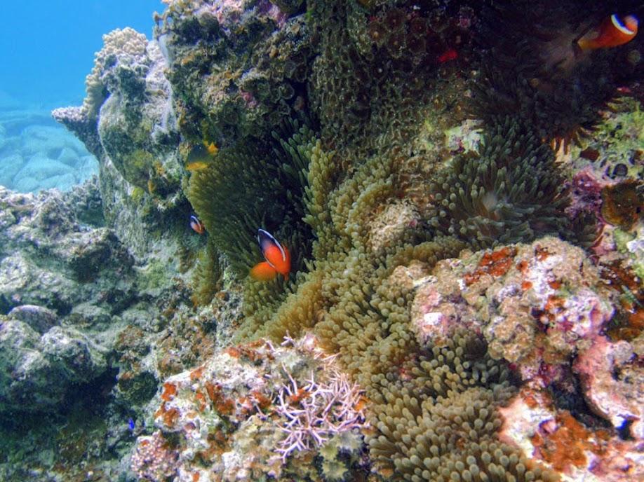 Amphiprion barberi (Fiji Tomato Clownfish) with Entacmaea quadricolor (Bubble Anemone) , Naigani Island, Fiji.