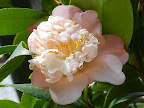 極淡桃色 唐子咲き 小輪 旗弁が盛り上がる