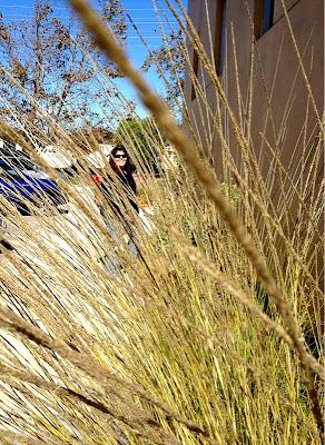Muhlenbergia rigens california deer grass
