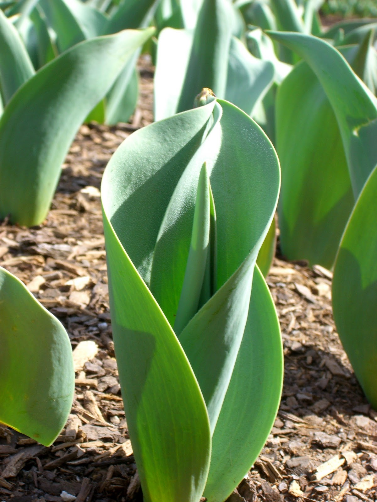 Plant To Plate Are Tulips Edible