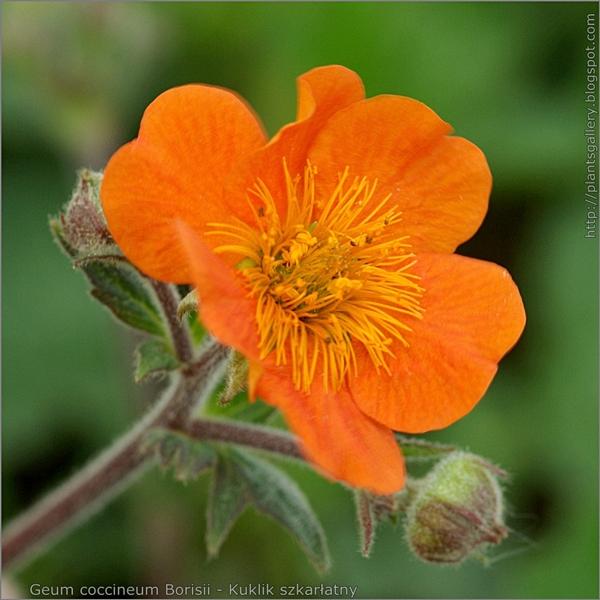Geum coccineum Borisii flower - Kuklik szkarłatny kwiat