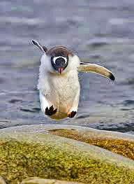 Penguin hopping out of the water