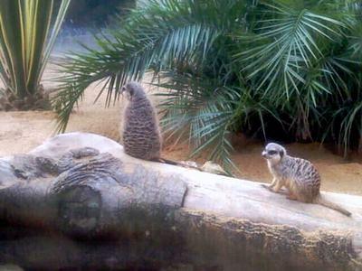 Сурикаты в зоопарке Лиссабона фото