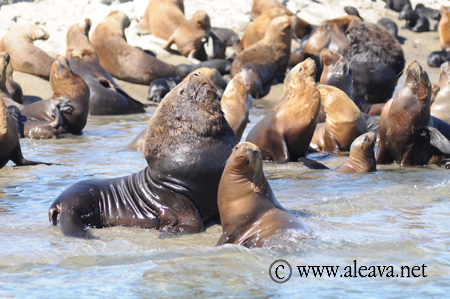 Lobo marino macho en su haren en la loberia de Punta Pirámides