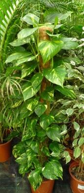 Epipremnum złociste Epipremnum aureum