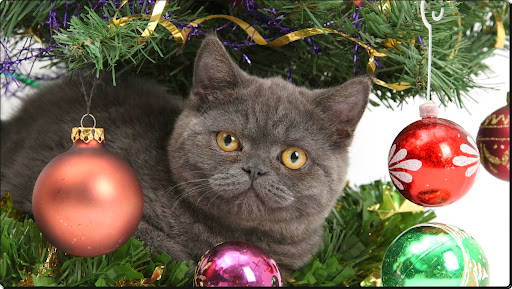 Making Himself at Home at Christmas, British Shorthair.jpg