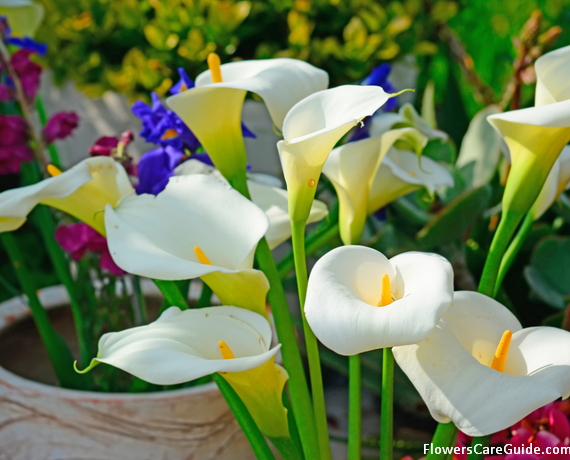 Calla Lily Flower History and Origin