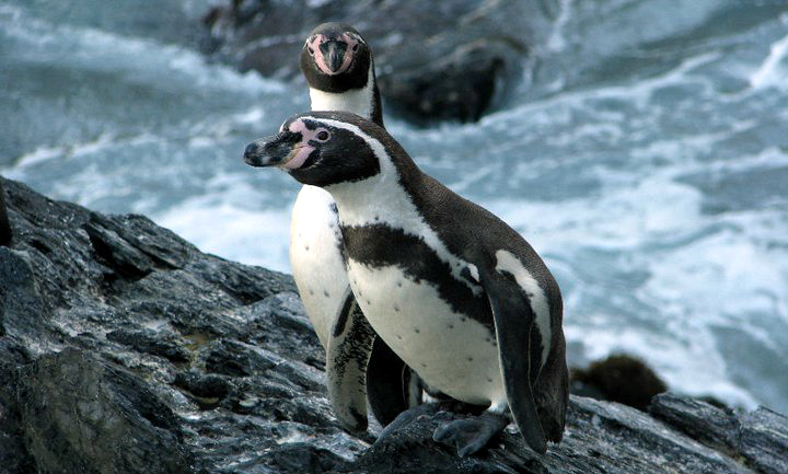 Humboldt Penguin in Peru