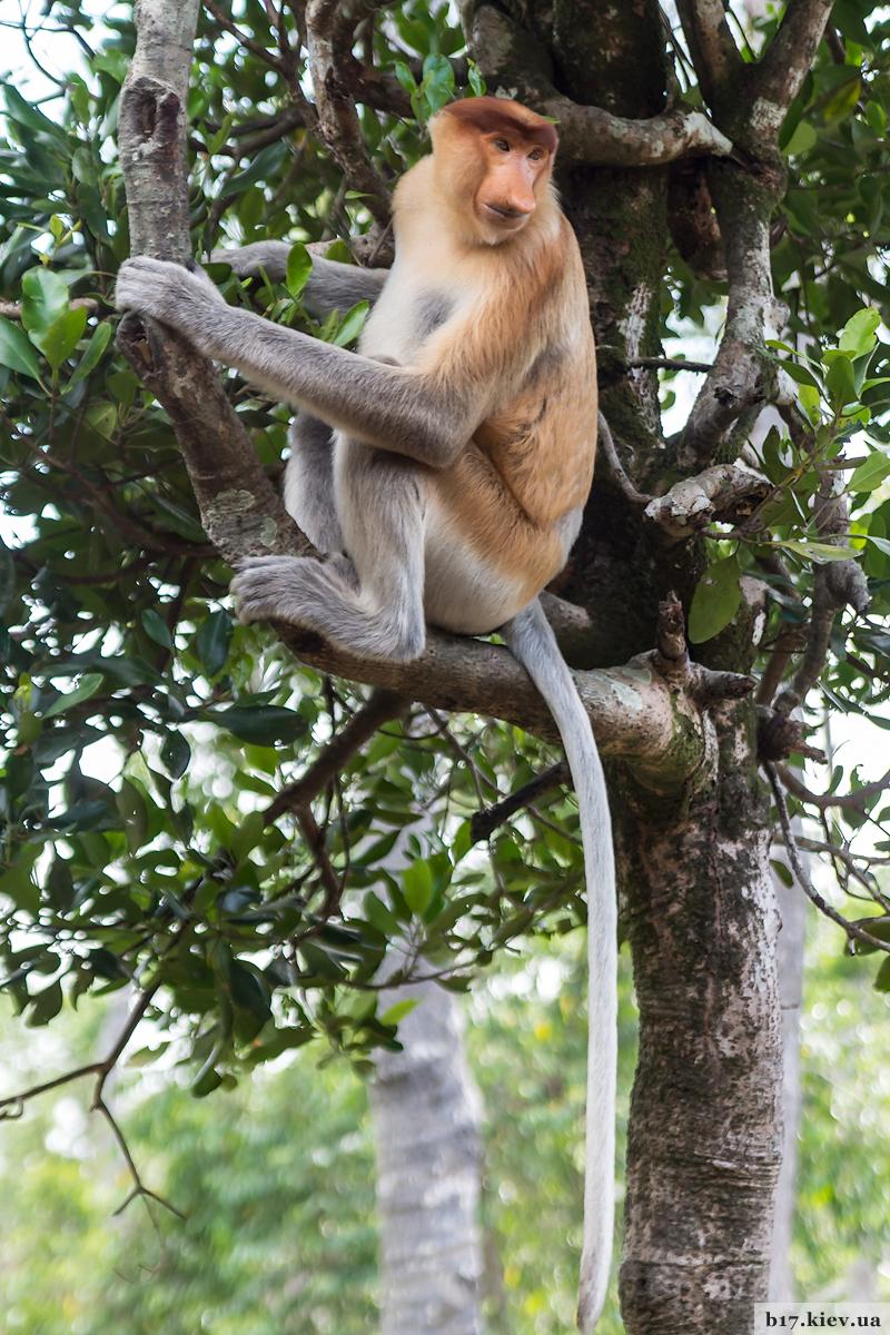Обезьяны носачи в парке Лабук Бей на острове Борнео