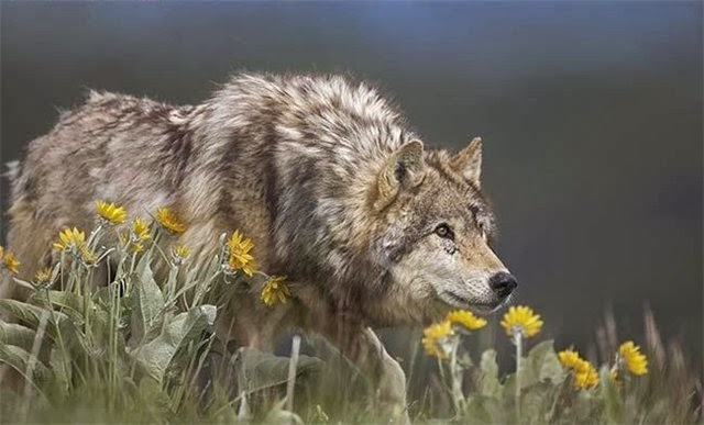 animal, photo, wolf, wolves