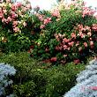 41 Lososové kvety pekne vyniknú v pozadí striebristých starčekov.JPG
