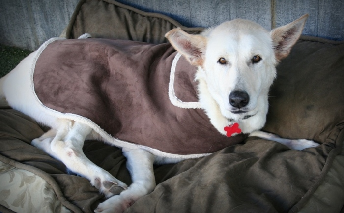 senior dog, white german shepherd, sitting on a dog bed, wearing brown suede coat with sherpa trim