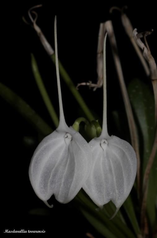 Alaticaulia tovarensis ( ex. Masdevallia tovarensis ) IMG_7337b%252520%252528Medium%252529