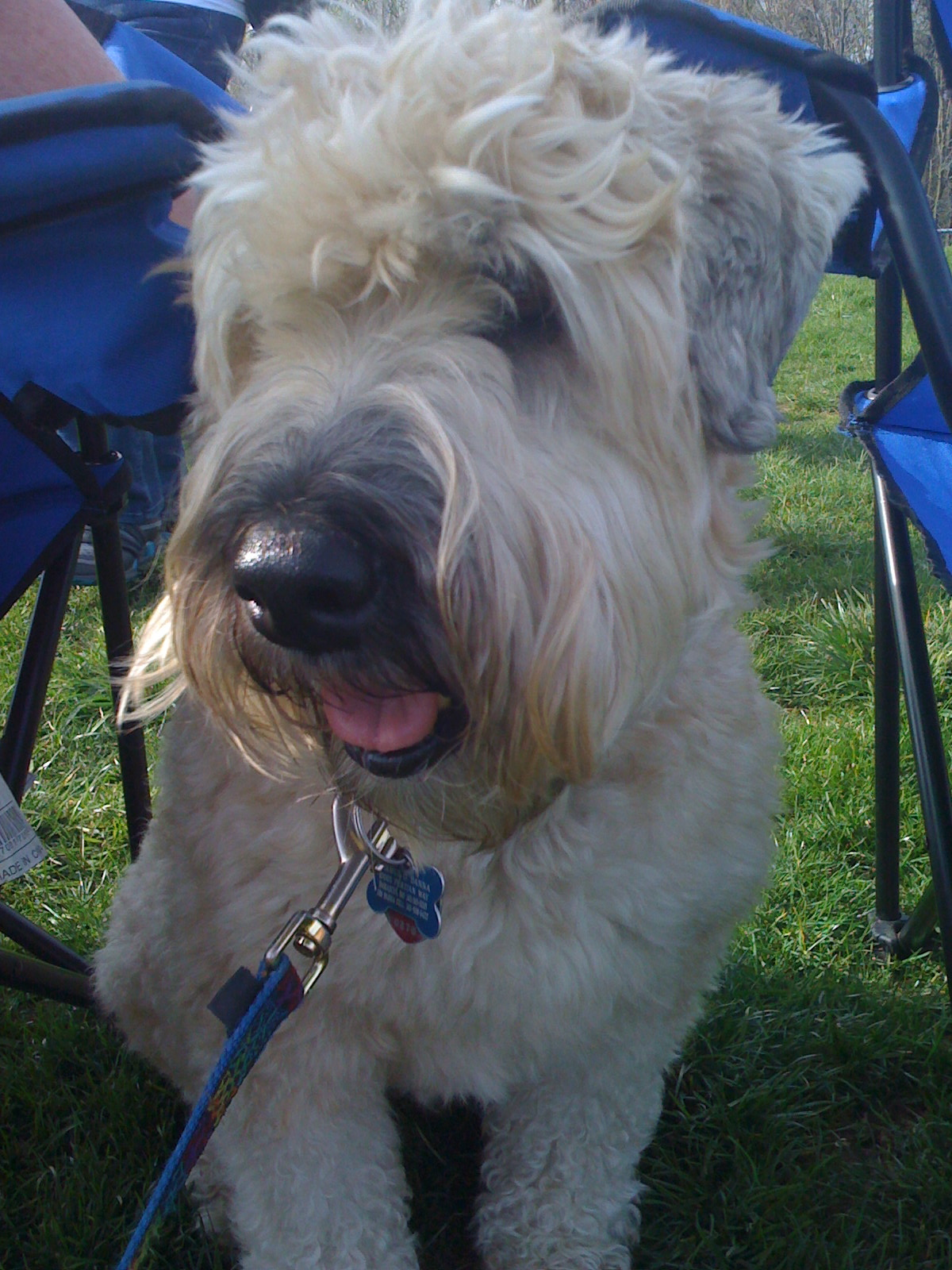 Wheaten Terrier Blog Seamus And His Pal Stella Ear Infections