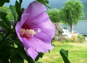 会場「シッコゴ公園」に咲くムクゲ
