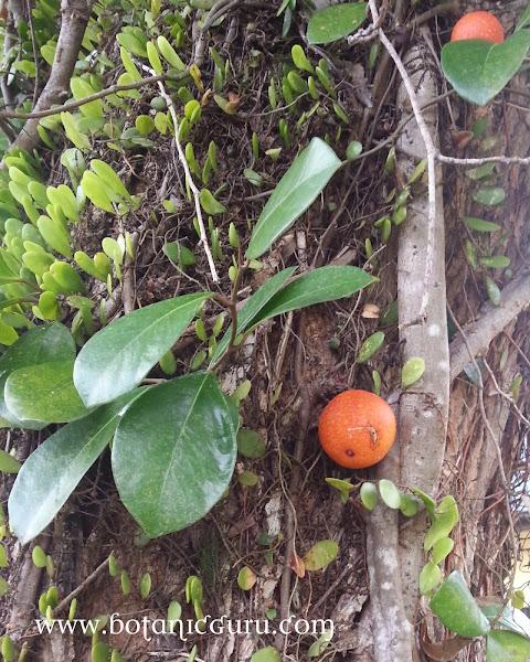 Ficus punctata, Climbing Fig