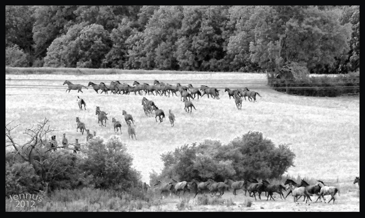 Trakehner_Pferde