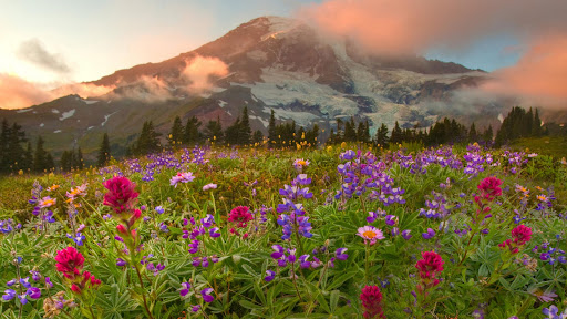Peaking Wildflowers, Mount Rainier National Park, Washington.jpg