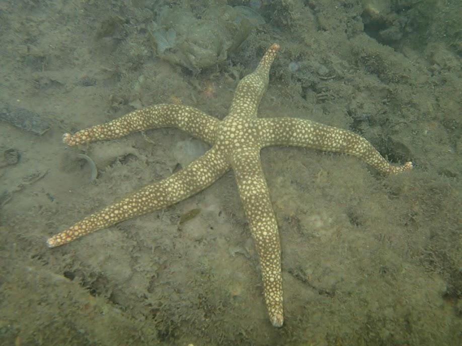 Nardoa tuberculata (Mottled Sea Star), Chindonan Island, Palawan. Philippines.
