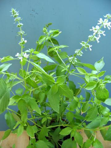 Lemon Basil Plant or Tanaman Kemangi