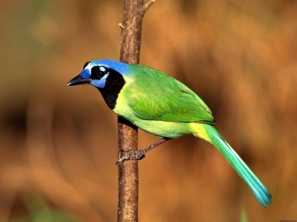 14 Most Beautiful Birds of the World - Green Jay