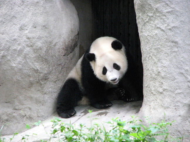 Young Giant Panda playing hide and seek, Chengdu Panda Research Base, Chengdu