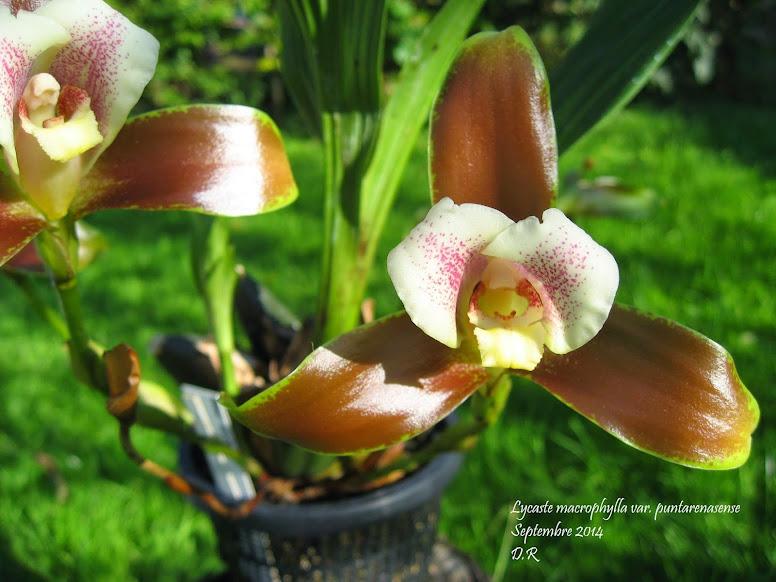 Lycaste macrophylla var puntarenasense L.macrophylla%2Bvar%2Bpuntarenasense%2B1%2Bmoi%2Bnom