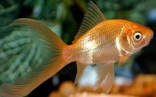 Goldfish Pictures - Comet Goldfish