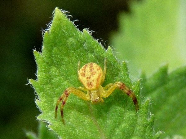 crab spider with skeleton face marking