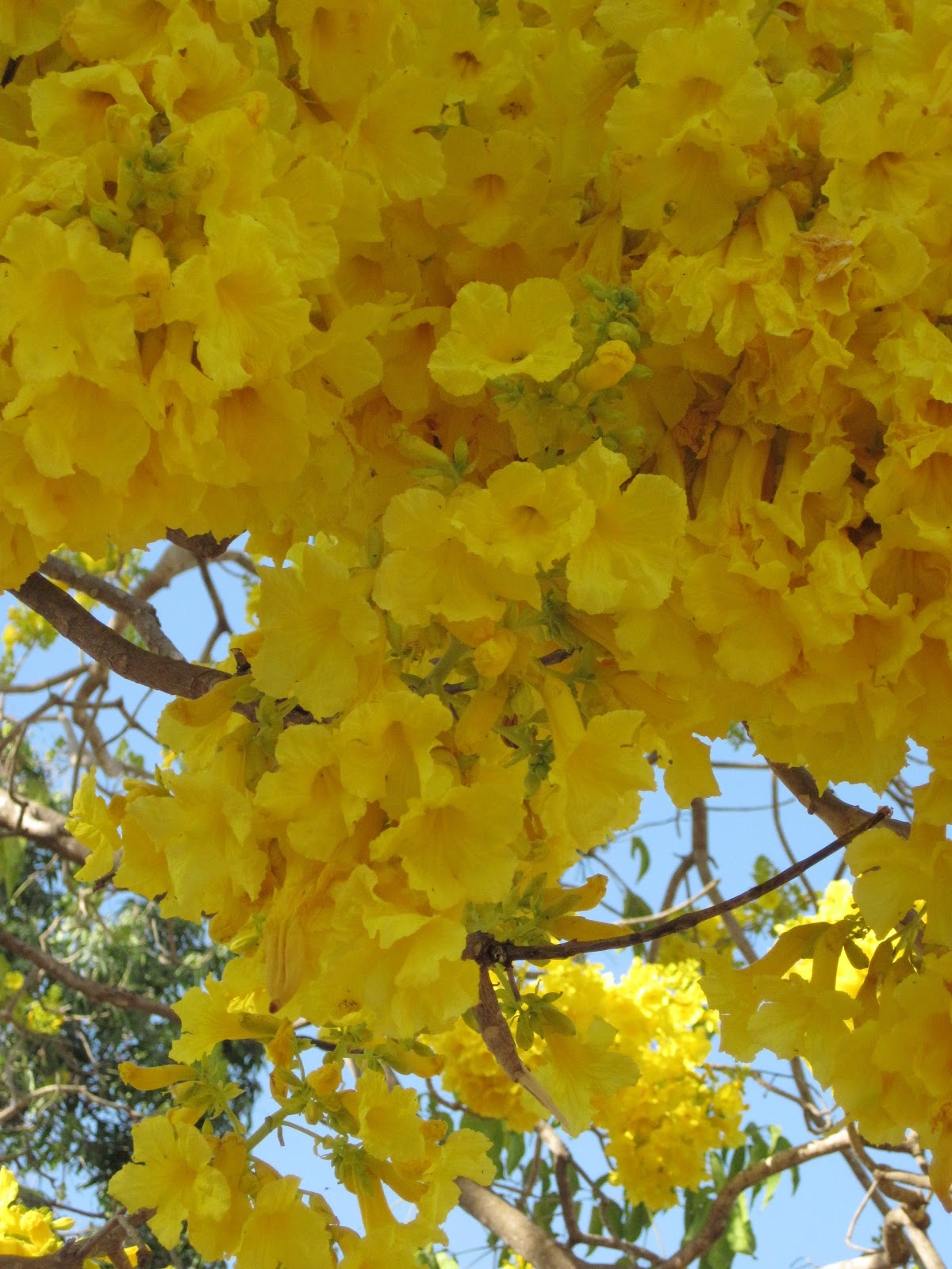 Sv rutea sails around the world the yellow flower tree the yellow flower tree mightylinksfo Image collections
