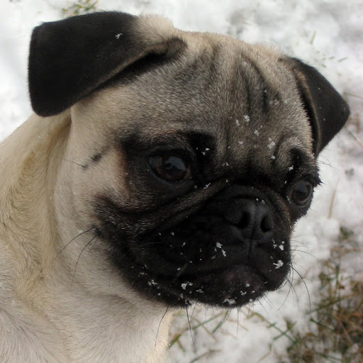 pug pooping bah humpug pug poop cycle 8875