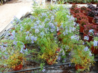 Kokorycz pogięta Corydalis flexuosa
