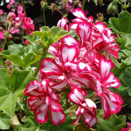 josephine lily