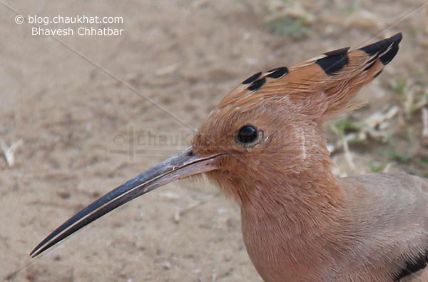 Close-up of Eurasian Hoopoe - Upupa epops [Upupidae family]