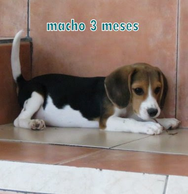 macho beagles de 3 meses