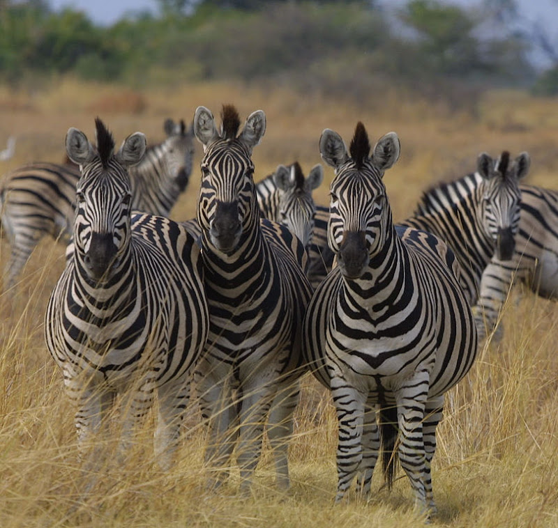 zebra´s in botswana, paul maritz