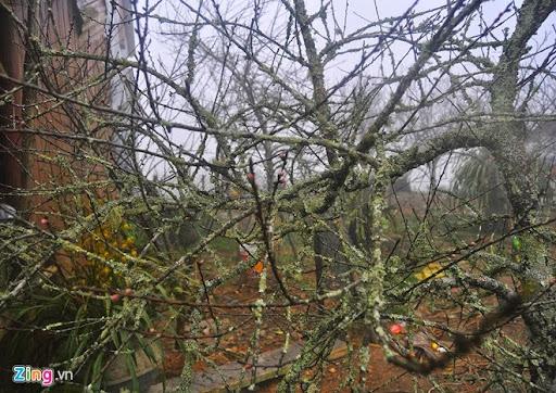 Một cành đào rừng hơn 10 năm tuổi của anh Hùng chi chít rêu mốc với đầy đủ cả hoa lan, cây tầm gửi và hoa đào đỏ thắm. Cành cây này anh Hùng tìm được ở trên núi đá trong một chuyến đi bản.