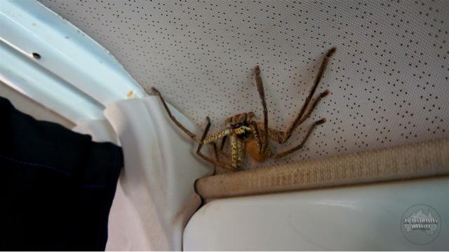 фото паук охотник