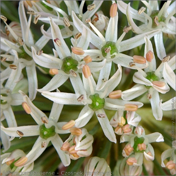 Allium karataviense flower - Czosnek karatawski kwiaty