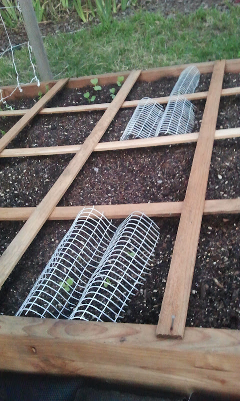 Protecting crops (or, any cheap alternatives to chicken wire?) 2011-10-19%25252018.33.18