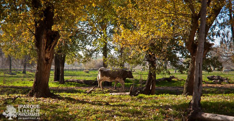 ganadería en el bosque de galería del Parque
