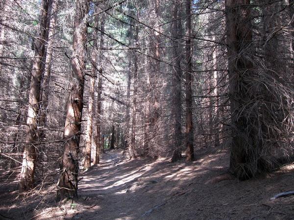 zniszczony las iglasty widełki