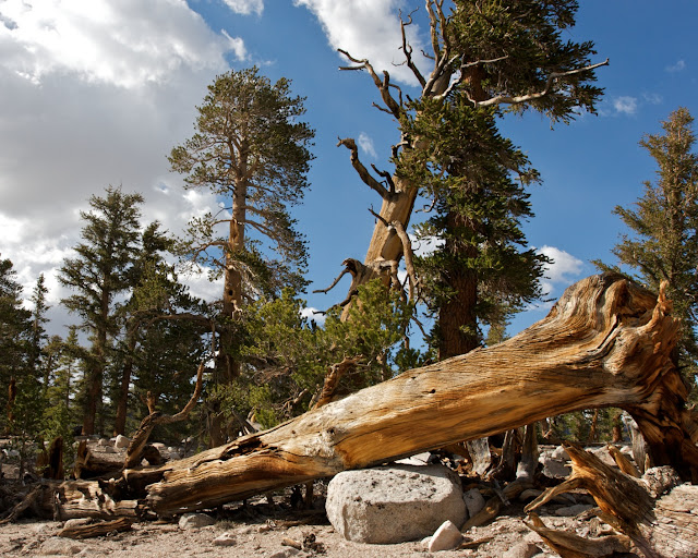 foxtail pine