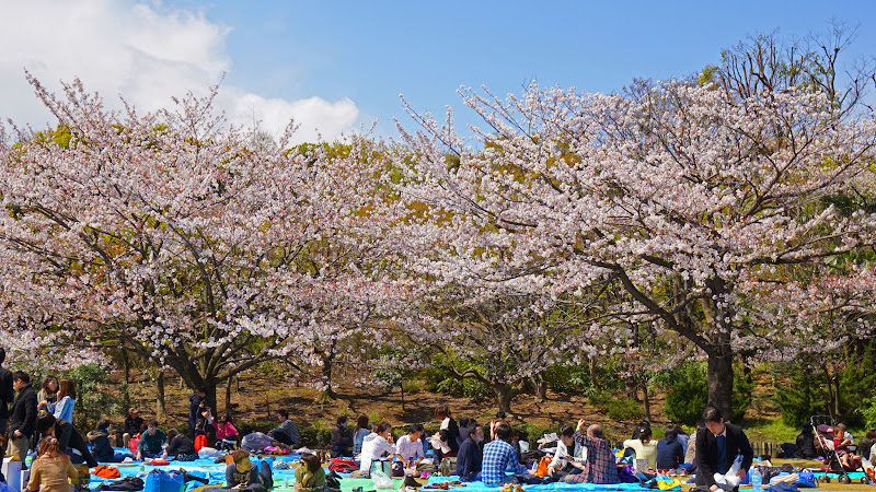 千鳥ヶ淵 桜 写真25