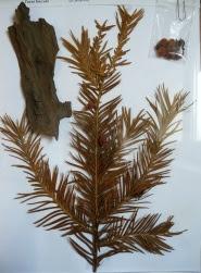 Cis pospolity Taxus baccata okaz zielnikowy