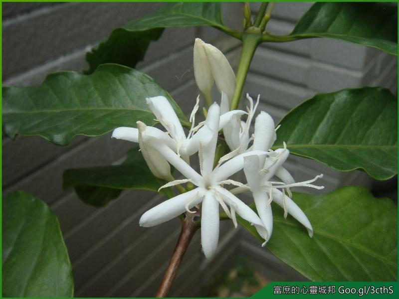 Coffee trees flower photos