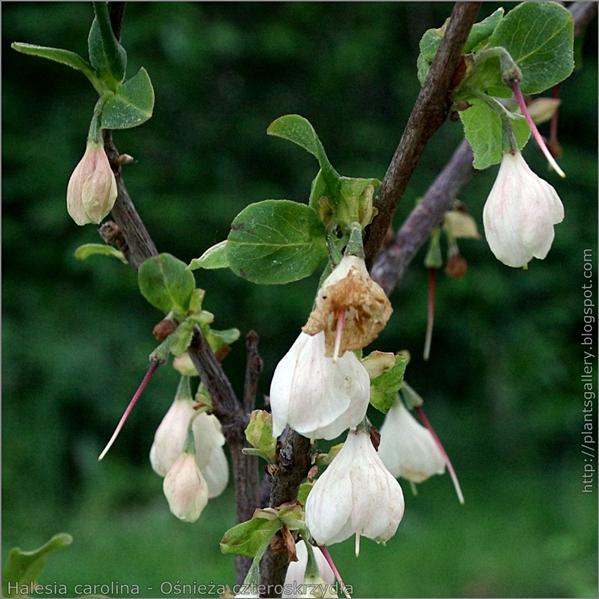 Halesia carolina flower - Ośnieża czteroskrzydła kwiaty